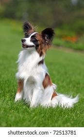 portrait of a purebred papillon dog