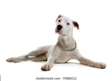 portrait of a purebred puppy argentinian dog in front of white background