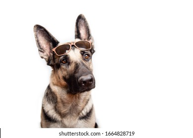 Portrait of a purebred red German shepherd in sunglasses on a white background with place for text.