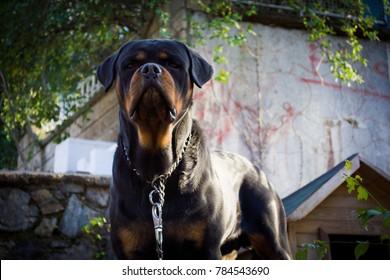 portrait of purebred rottweiler dog in the garden
