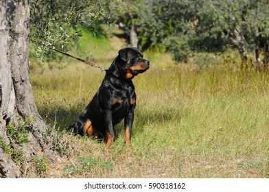 Portrait of purebred rottweiler dog, outdoor photography.