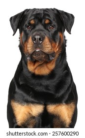 Portrait of a purebred Rottweiler isolated on white background