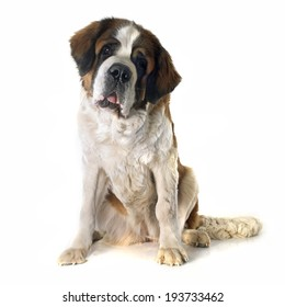 portrait of a purebred Saint Bernard in front of white background