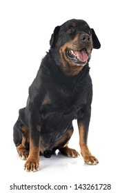 portrait of a purebred senior rottweiler in front of white background