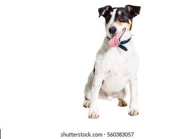Portrait of a purebred smooth fox terrier  white background