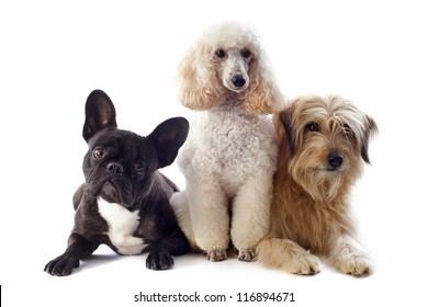 portrait of a pyrenean sheepdog, poodle and french bulldog in front of a white background