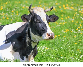 Portrait of a quiet black and white cow by springtime, Fribourg, Switzerland