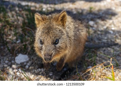 Portrait of Quokka on Rottnest Island, Western Australia