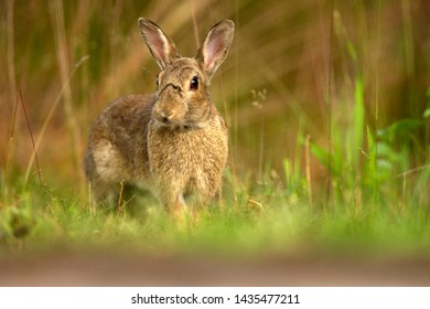 Portrait of a rabbit among the grass, the Netherlands