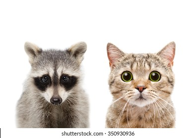 Portrait of a raccoon and cat Scottish Straight, closeup, isolated on white background