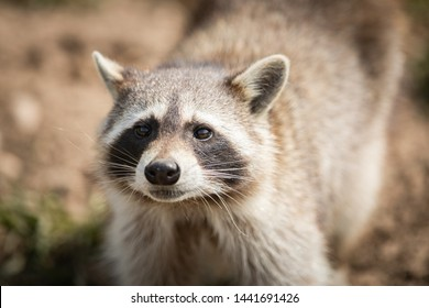 Portrait of raccoon in the forest