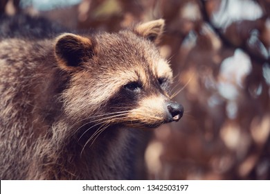 portrait of Raccoon (Procyon lotor), also known as the North American raccoon.