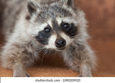 a portrait of a raccoon staring into the camera with a touching gaze