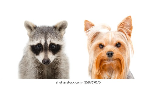 Portrait of a raccoon and Yorkshire terrier isolated on white background