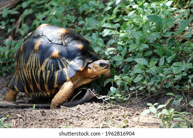 Portrait of radiated tortoise,The radiated tortoise eating flower ,Tortoise sunbathe on ground with his protective shell ,cute animal ,Astrochelys radiata ,The radiated tortoise from Madagascar