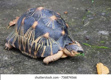 Portrait of radiated tortoise,The radiated tortoise eating leaves ,Tortoise sunbathe on ground with his protective shell ,cute animal ,Astrochelys radiata