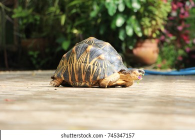 Portrait of radiated tortoise,The radiated tortoise eating flower ,Tortoise sunbathe on ground with his protective shell ,cute animal ,Astrochelys radiata ,Tortoise eating flower