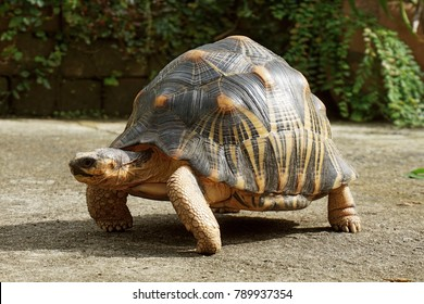 Portrait of radiated tortoise,Tortoise sunbathe on ground with his protective shell, Radiated tortoise from south of Madagascar ,Astrochelys radiata