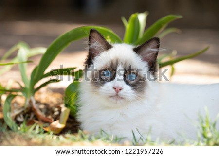 Portrait Ragdoll Cat Outside Stockfoto Jetzt Bearbeiten 1221957226