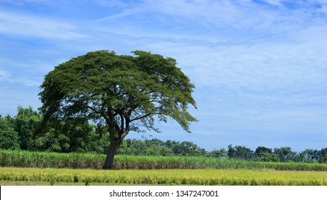 Portrait of rain tree ( albizia saman ) on blue sky background