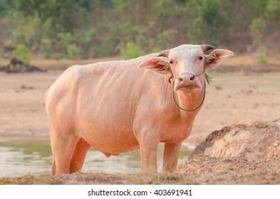 Portrait of rare white Asia water buffalo, albino carabao