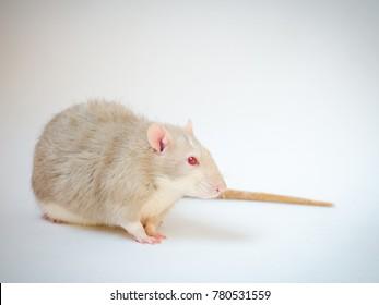 portrait of rat