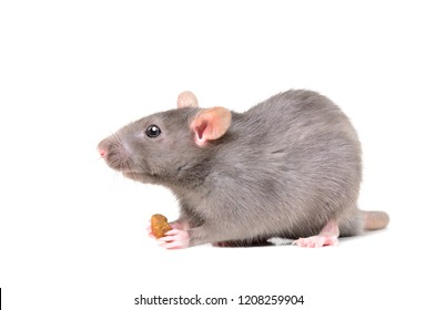 Portrait of a rat holding a food in its paws, isolated on white background