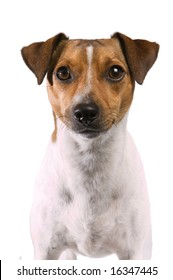Portrait of a Rat Terrier on a white background