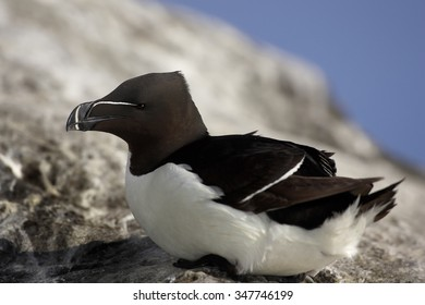 Portrait of Razorbill Alca torda relaxing on the edge of cliff after return from ocean, opened beak. Rocky steep slopes  and ocean in background.