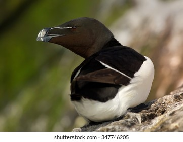 Portrait of Razorbill Alca torda relaxing on the edge of cliff after return from ocean, opened beak. Green rocky steep slopes  in background.