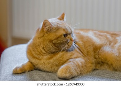 Portrait of a red British shorthair cat