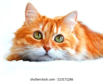 The portrait of red cat, isolated on a white