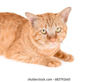 Portrait of red cat isolated on white background
