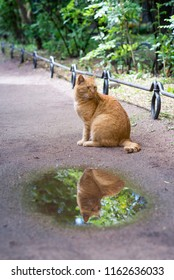 Portrait of red cat reflecting in a puddle