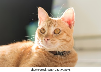 Portrait of red Cat  with Rim light