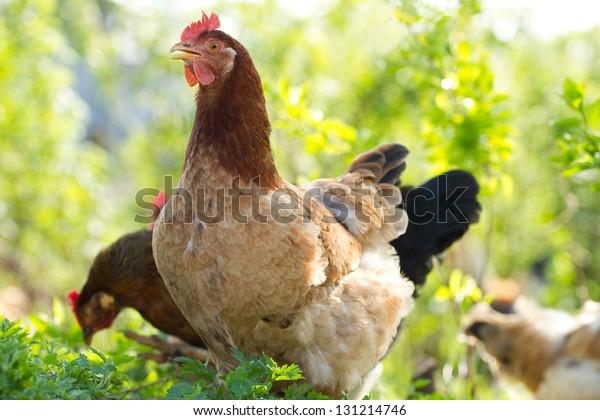 Porträt eines roten Huhn