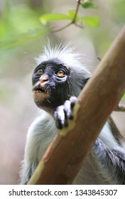 Portrait of red colobus monkey in jungle