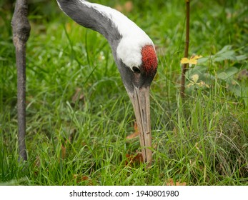 Portrait of a Red crowned Crane (Grus japonensis) in a zoo (Vienna, Austria), cloudy day in autumn