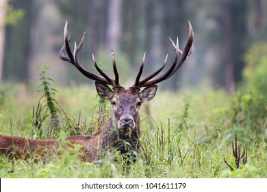 Portrait of red deer with antlers standing in forest. Wildlife in natural habitat
