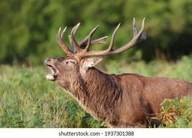Portrait of a red deer stag calling during rutting season in autumn, UK.
