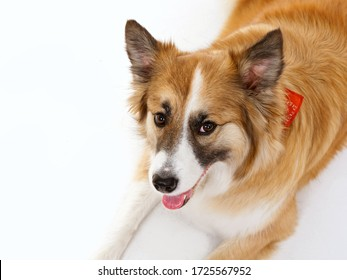 portrait of a red dog on a white background