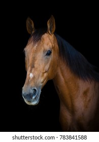 portrait of red don mare horse on black background