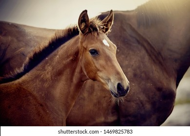 Portrait of a red foal sporting breed with a mare. Small horse. Foal with an asterisk on a forehead.