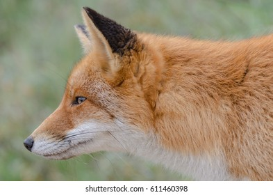 Portrait of a red fox