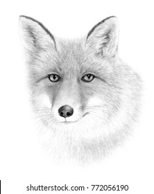 Portrait of Red Fox. Hand drawn illustration.