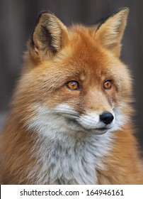 Portrait of red fox male, vulpes vulpes. The head a beautiful forest wild beast. Smart look of a dodgy vulpes, skilled raptor and elegant animal. Cute and cuddly creature.