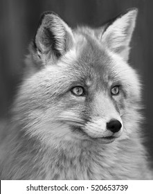 Portrait of red fox male, vulpes vulpes. The head a beautiful forest wild beast. Smart look of a dodgy vulpes, skilled raptor and elegant animal. Cute and cuddly creature. Black and white image.
