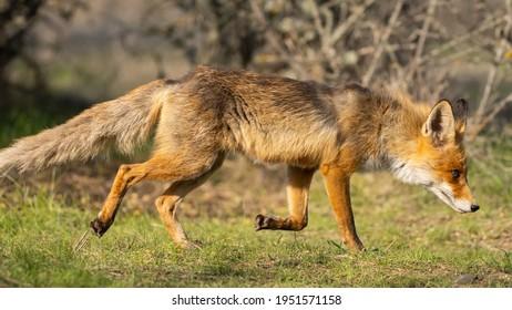 Portrait of a red fox Vulpes vulpes.