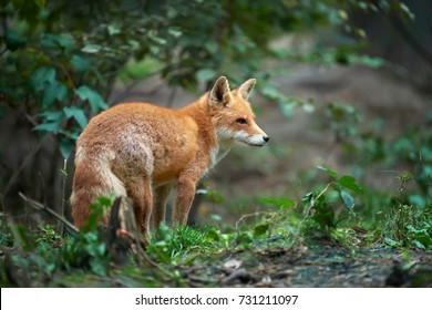 Portrait of a red fox (Vulpes vulpes) in the natural environment