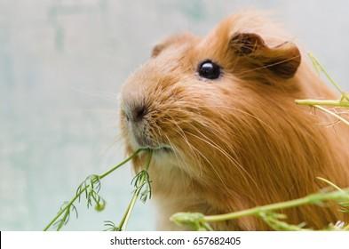 Portrait of red guinea pig. Close up.